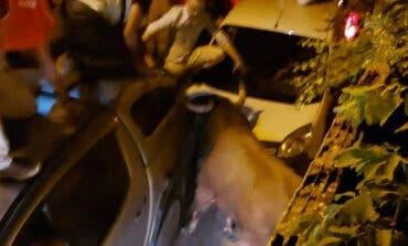 PACMA presenta una querella por el presunto atropello mortal del toro huido en Brihuega