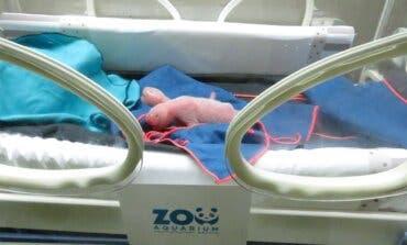 Nacen dos osos pandas gemelos en el Zoo de Madrid