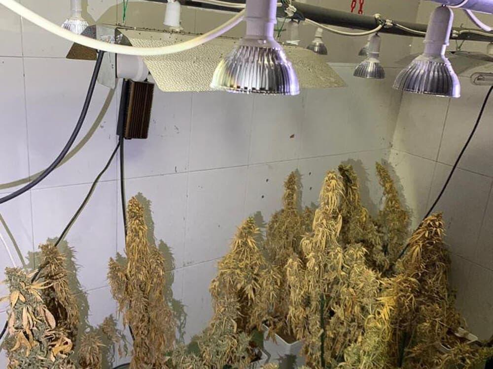Detenido por cultivar 50 plantas de marihuana en Torrejón de Ardoz